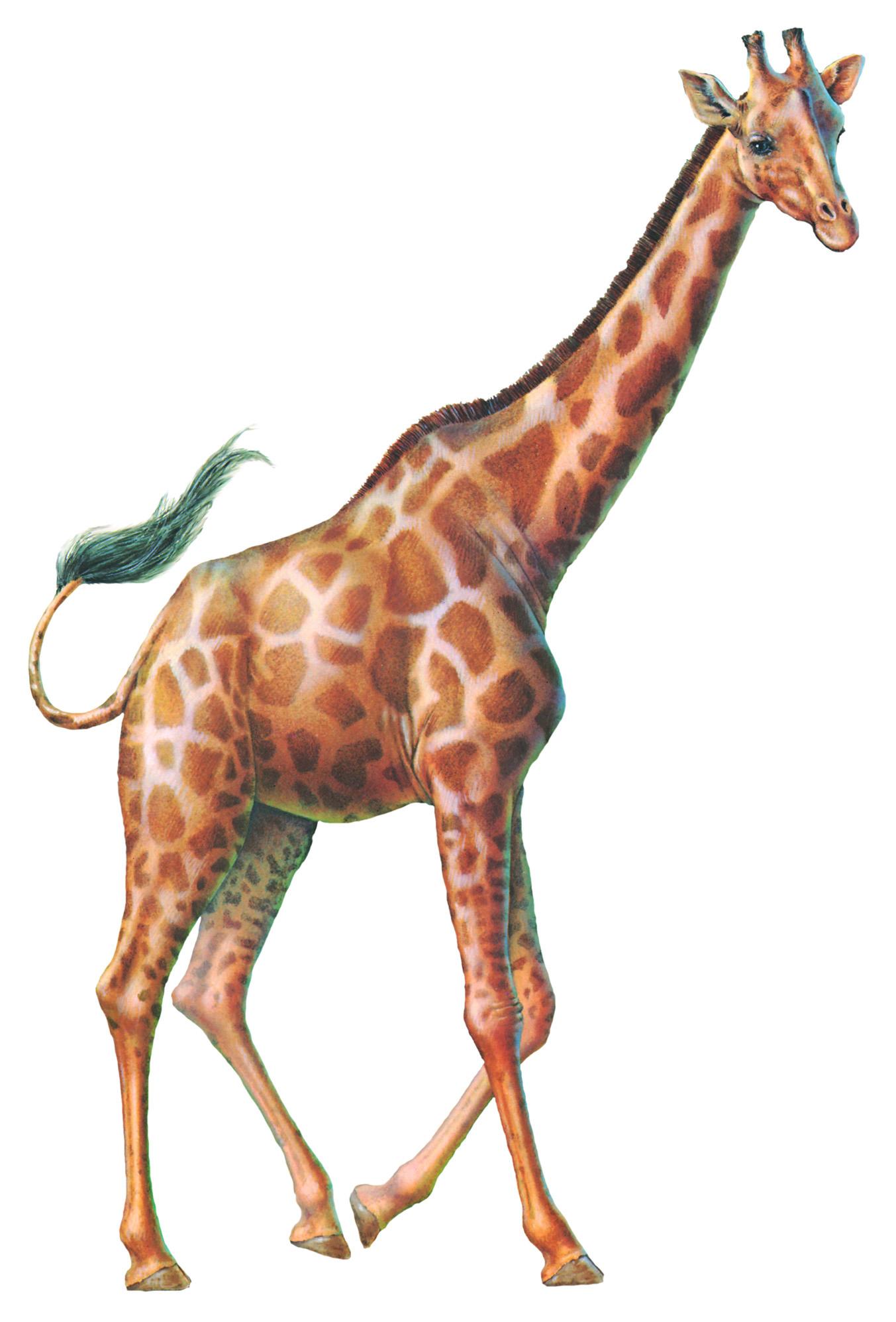 do giraffes get light headed the wild world of zoobooks
