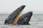 Grey Whale Eschrichtius robustus San Ignacio Lagoon Mexico Baja California spyhopping. Image shot 02/2006. Exact date unknown.