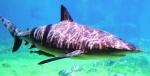 Bull shark photo