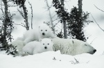 Polar Bear cubs with mother in snow. Image shot 2007. Exact date unknown.