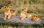 ZB_Lions_cubs15