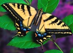 Swallowtail_photo