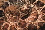 Rattlesnakes back photo