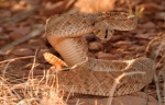 Rattlesnakes IFC_01