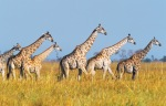 ZT Giraffes IFC_01 photo