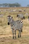 Plains_Zebra_Equus_quagga