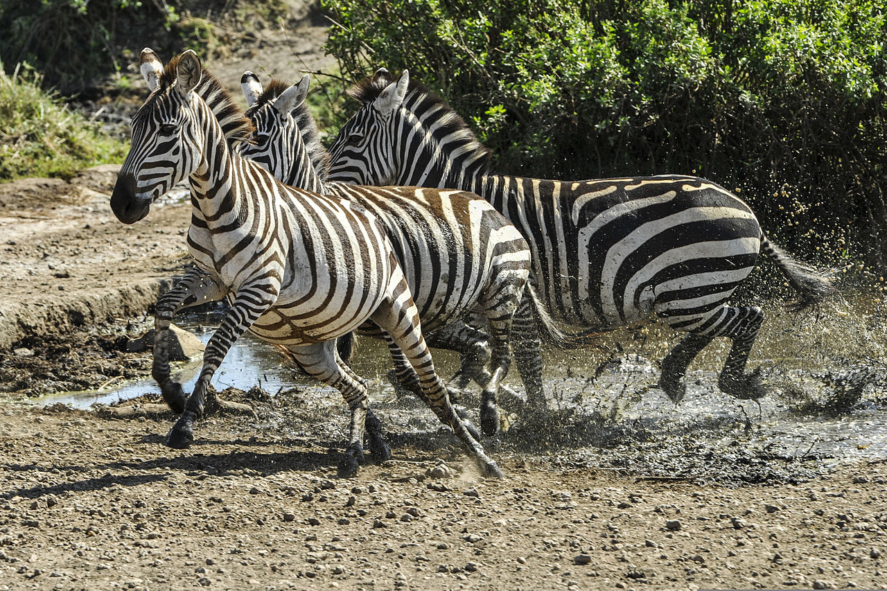 zebra_are_seen_running_at_the_serengeti_