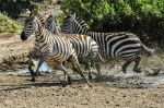 Photo credit: http://commons.wikimedia.org/wiki/ File:Zebra_are_seen_running_at_the_Serengeti_National_Park_in_Tanzania_Nov._14,_2013_131114-N- LE393-065.jpg