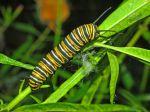 Nymphalidae_-_Danaus_plexippus_Caterpillar