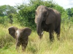 African_elephant_infant_(6987533809)