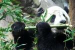 Giant_Panda_Tai_Shan