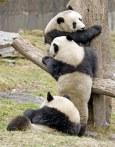 Giant_Pandas_Playing3