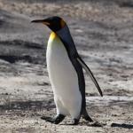 King_Penguin_on_Saunders_Island_(5586832804)