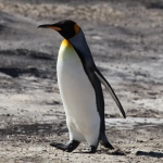 King_Penguin_on_Saunders_Island_(5586832804)