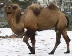 Camel_seitlich_trabend