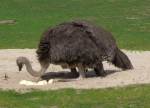 Breeding_Ostrich_Berlin