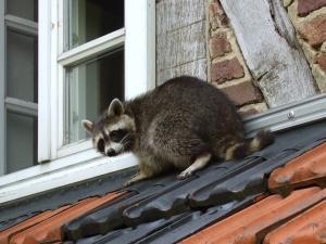 raccoon Waschbaer_auf_dem_Dach