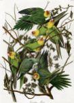AudubonCarolinaParakeet2