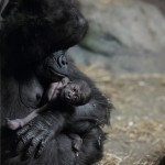 Moka_with_baby_gorilla_at_Pittsburgh_Zoo_12,_2012-02-17