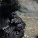Moka_with_baby_gorilla_at_Pittsburgh_Zoo_12,_2012-02-17