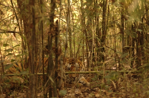 Tiger-in-kanha.jpg