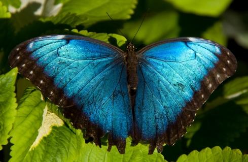 Blue_Morpho_(7974443510) (1)