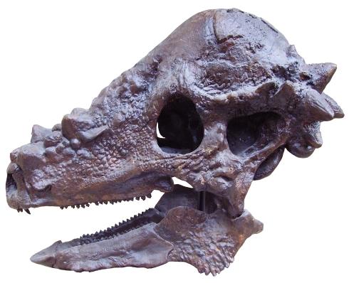 Pachycephalosaurus_skull