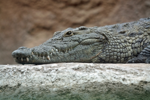 Nile_crocodile_head.jpg