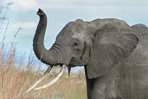 1024px-african_elephant_warning_raised_trunk