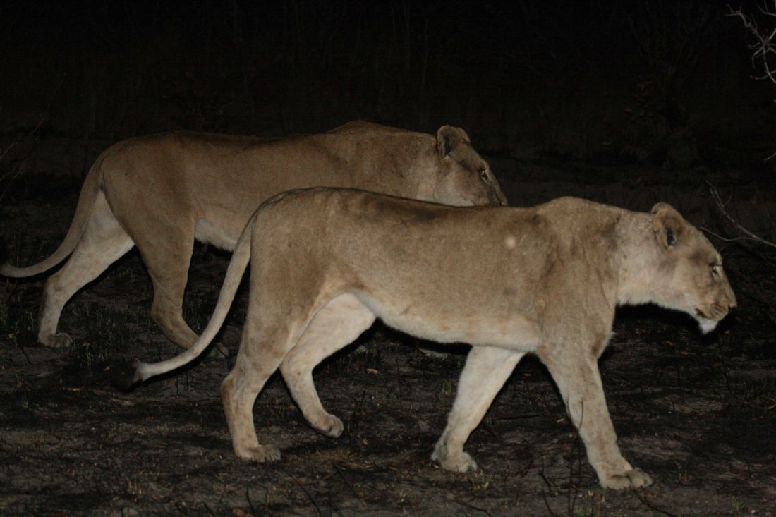 lions_at_night