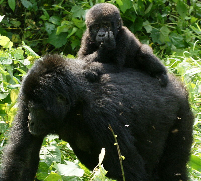 800px-gorillas_in_uganda-3_by_fiver_locker