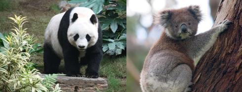 panda koala.png