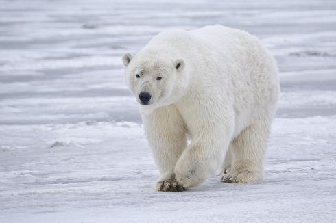 Polar_Bear_-_Alaska.jpg