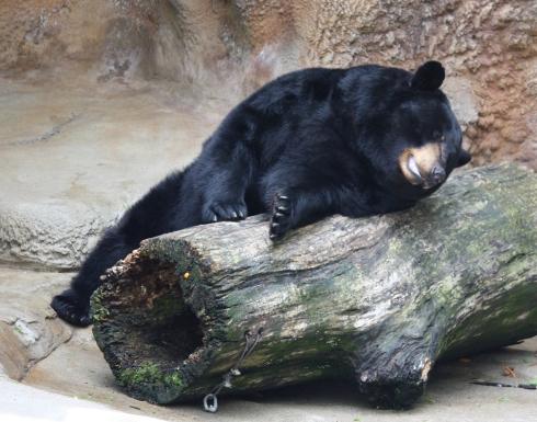 american_black_bear_059