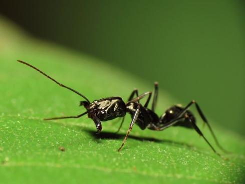 trapjaw-ant