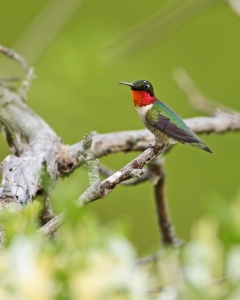 Ruby-throated_Hummingbird_1