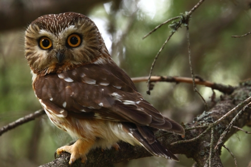 Male_Northern_Saw-whet_Owl_(7364047820).jpg