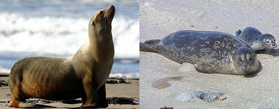seal-sealion