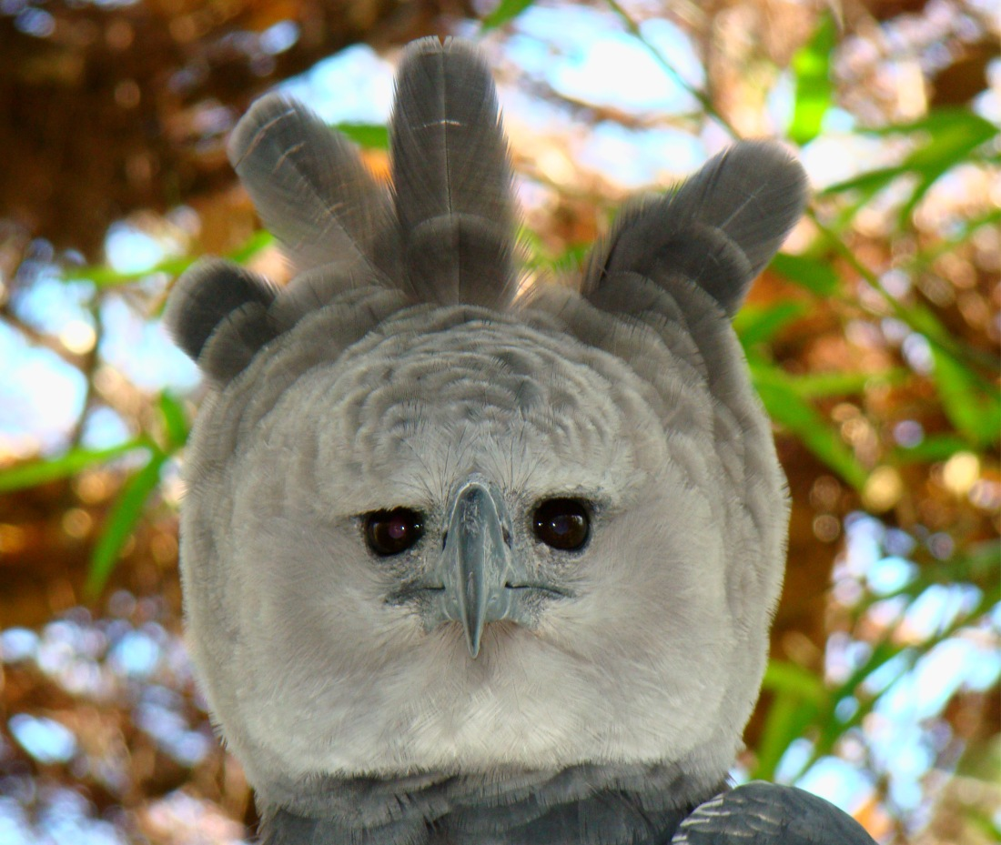 Portrait-of-a-Harpy-Eagle.jpg