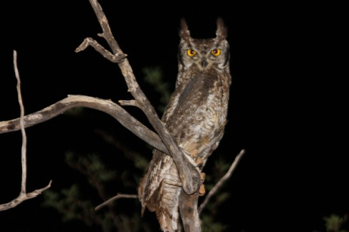 Spotted_eagle_owl_bubo_africanus.jpg