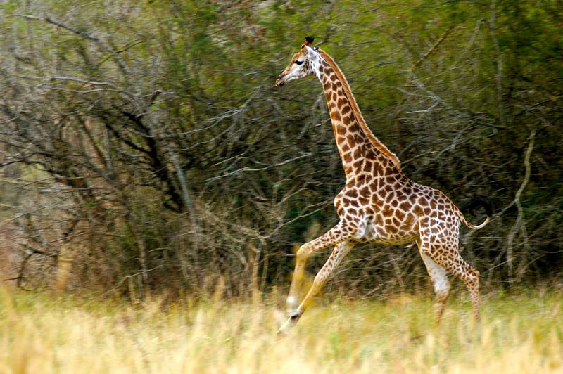 Giraffe_at_Hilton.png